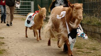 the goat race is back