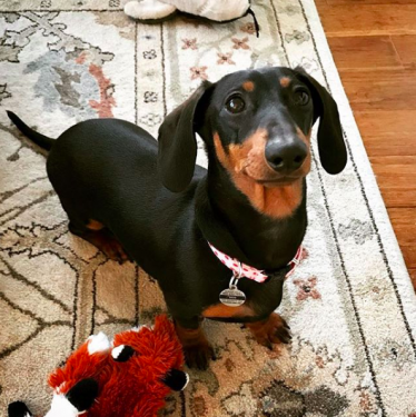 A very cute dachshund